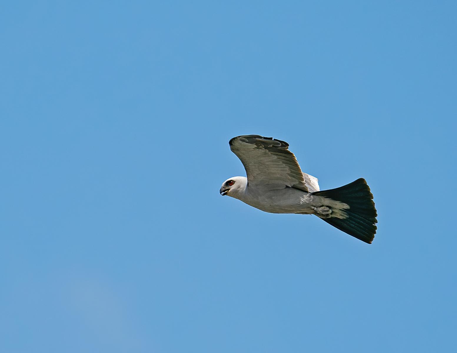 IMAGE: https://photos.smugmug.com/Beautyinthetreesandintheair/Birds-in-2021/Mississippi-kites/i-XxQ5s3c/0/ccd2ea72/X3/Ms%20Kite_9_8-4-21-94-X3.jpg
