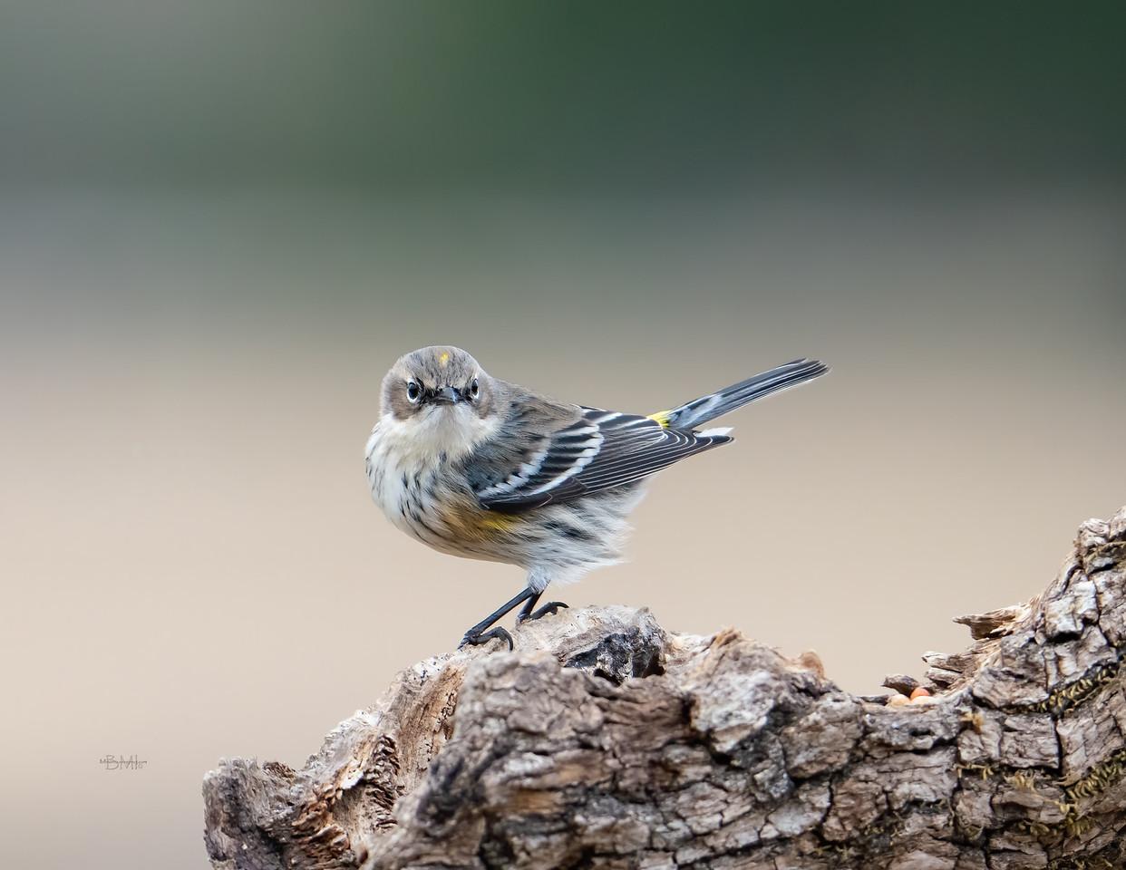 IMAGE: https://photos.smugmug.com/Beautyinthetreesandintheair/Birds/i-6xVN9pj/0/bc46b003/X2/Yellow-rumped%20warbler_9_12-30-2020-12-X2.jpg