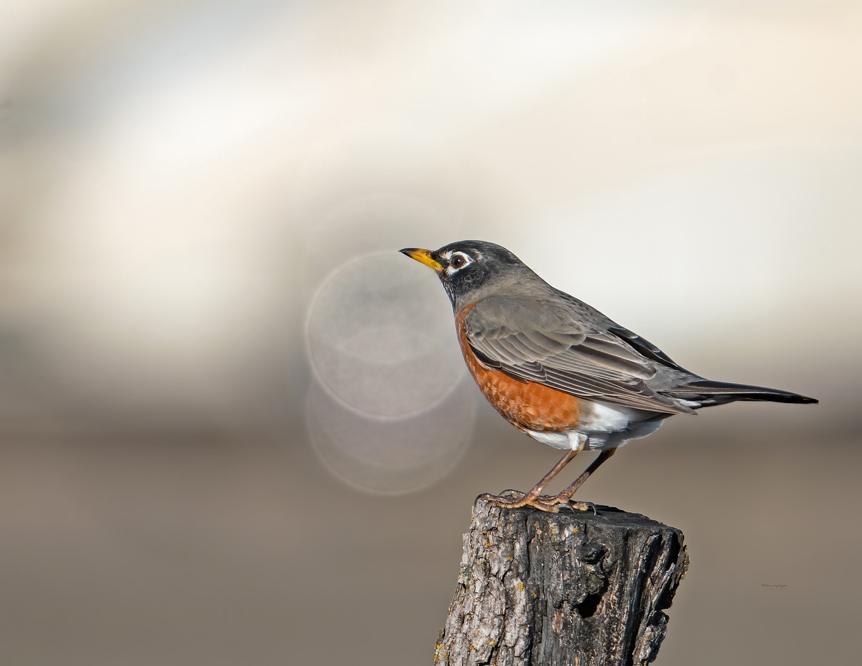 IMAGE: https://photos.smugmug.com/Beautyinthetreesandintheair/Birds/i-74bVkDH/0/2bc5a968/X2/American%20robin_R3_1-1-21-21-X2.jpg