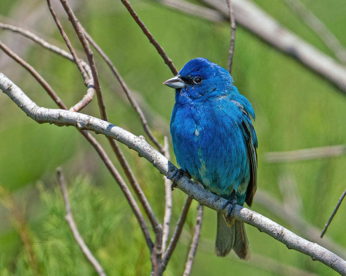 IMAGE: https://photos.smugmug.com/Beautyinthetreesandintheair/Birds/i-9mKBLFf/0/ae15a230/X2/Indigo%20bunting_R3_4-21-21-23-X2.jpg