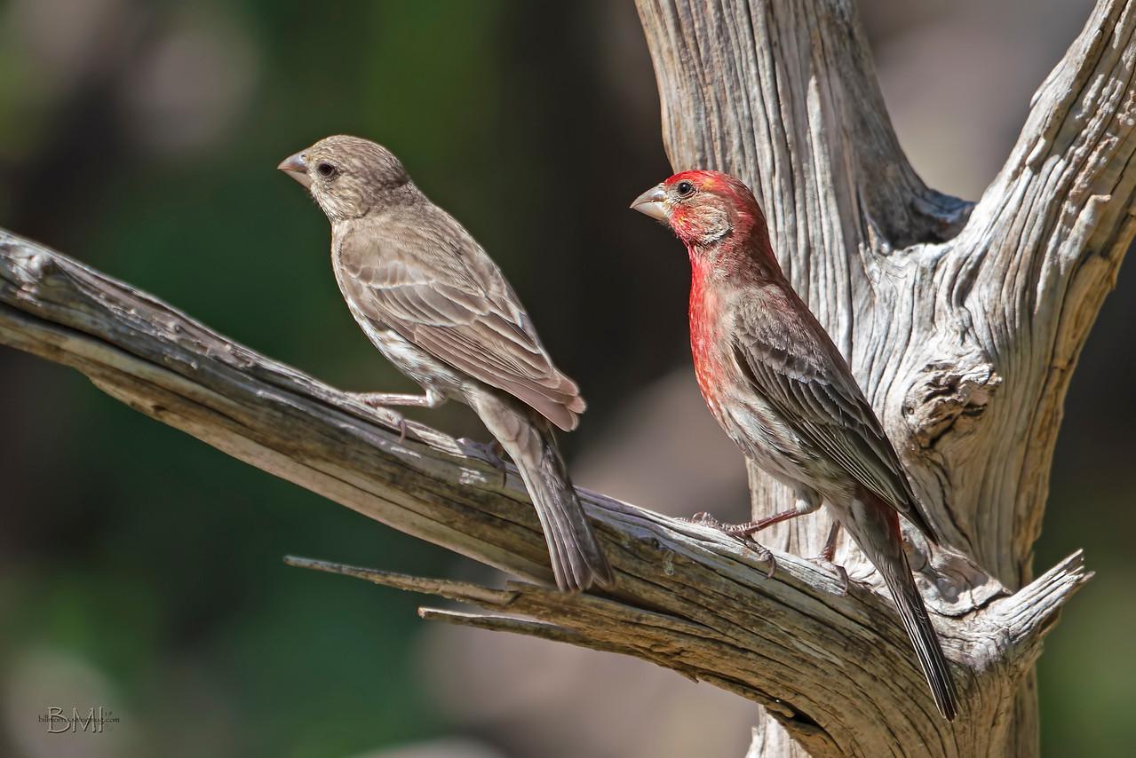IMAGE: https://photos.smugmug.com/Beautyinthetreesandintheair/Birds/i-GHqnLwJ/0/efcb42a8/X2/House%20finch%204-12-19-X2.jpg