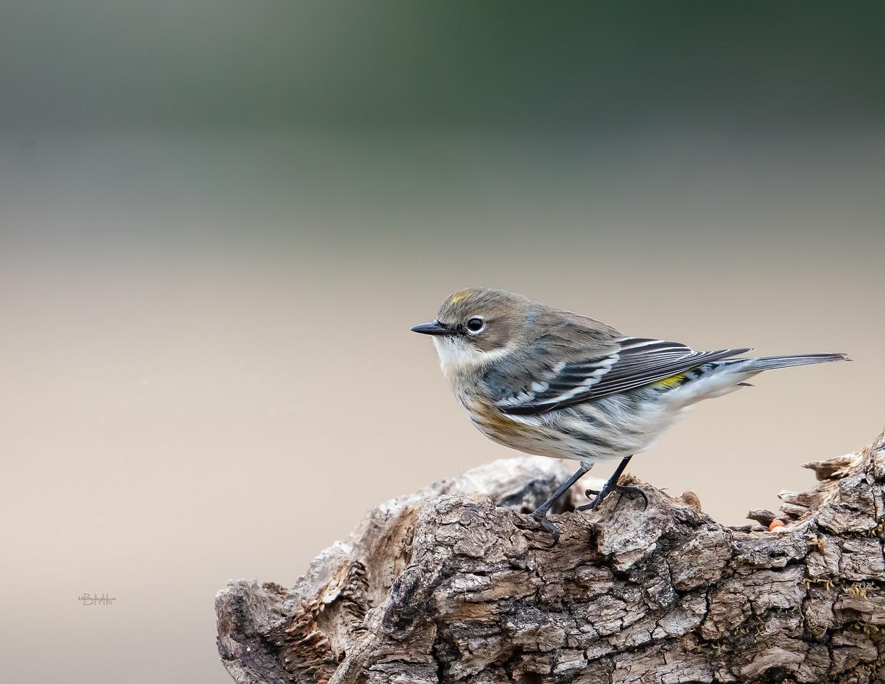IMAGE: https://photos.smugmug.com/Beautyinthetreesandintheair/Birds/i-H8PjTjj/0/385b196b/X2/Yellow-rumped%20warbler_9_12-30-2020-18-X2.jpg