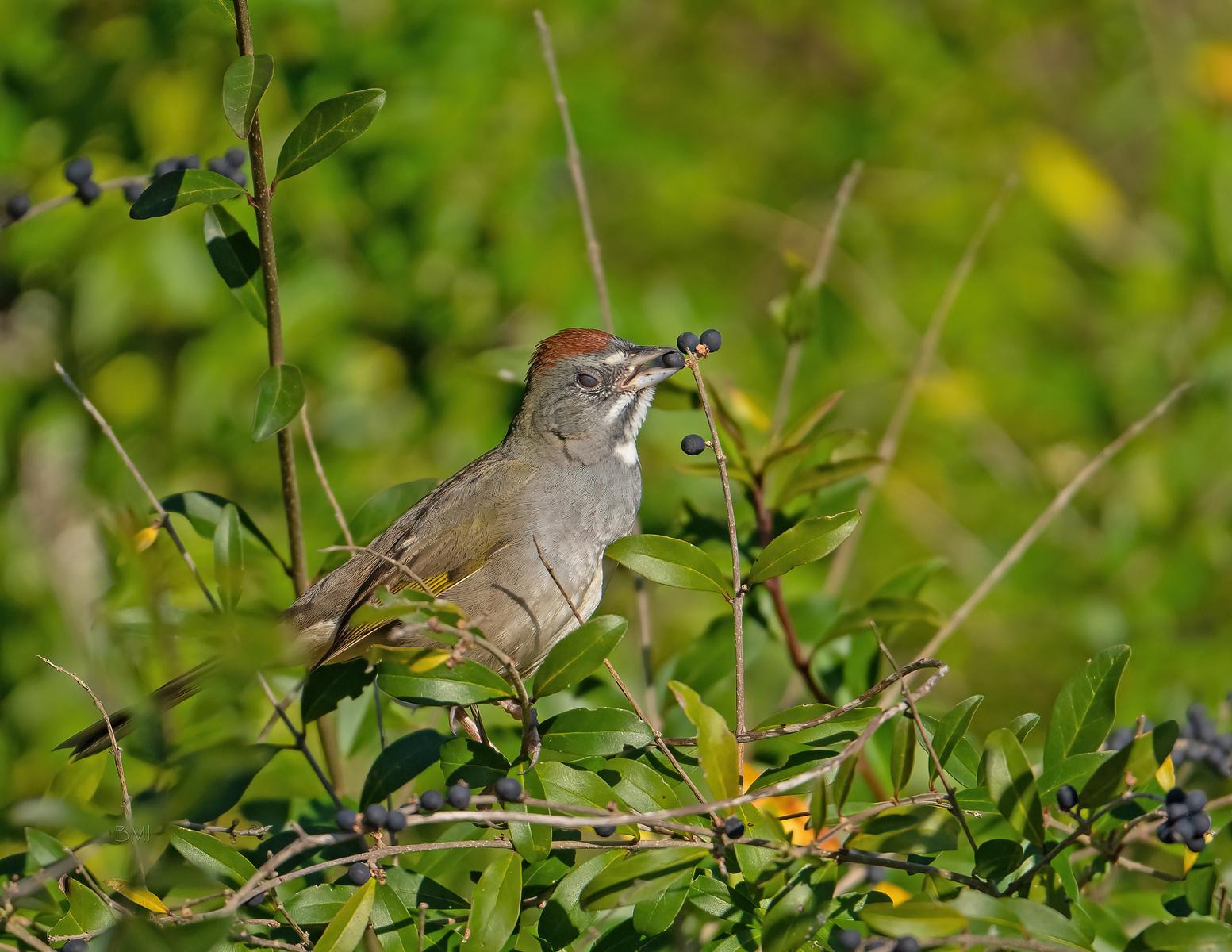 IMAGE: https://photos.smugmug.com/Beautyinthetreesandintheair/Birds/i-JTKBkqj/0/f72955da/X3/Green-tailed%20towhee_9_1-13-21-65-X3.jpg