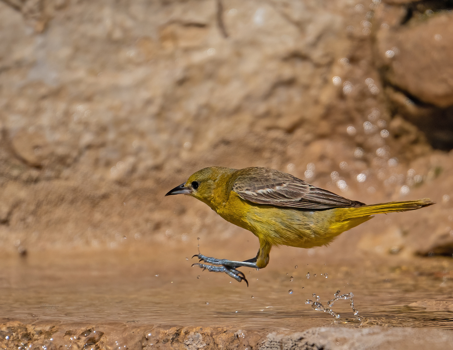 IMAGE: https://photos.smugmug.com/Beautyinthetreesandintheair/Birds/i-JvVvQrZ/0/0d8909ab/X3/Orchard%20oriole_9_6-2021-2-X3.jpg