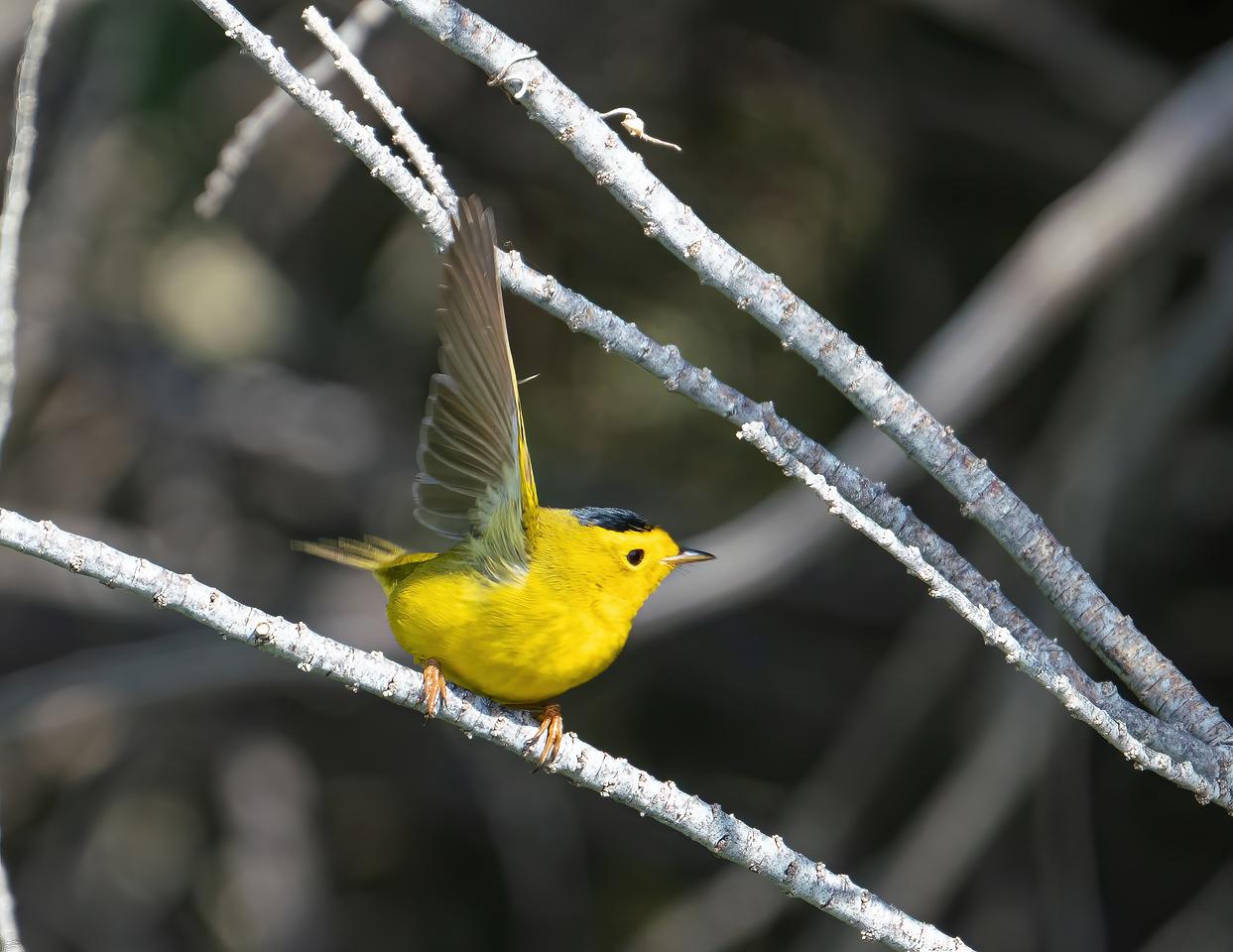 IMAGE: https://photos.smugmug.com/Beautyinthetreesandintheair/Birds/i-W6TMCfB/0/c6cd2dbc/X2/Wilson%27s%20warbler_R3_4-24-21-10-X2.jpg