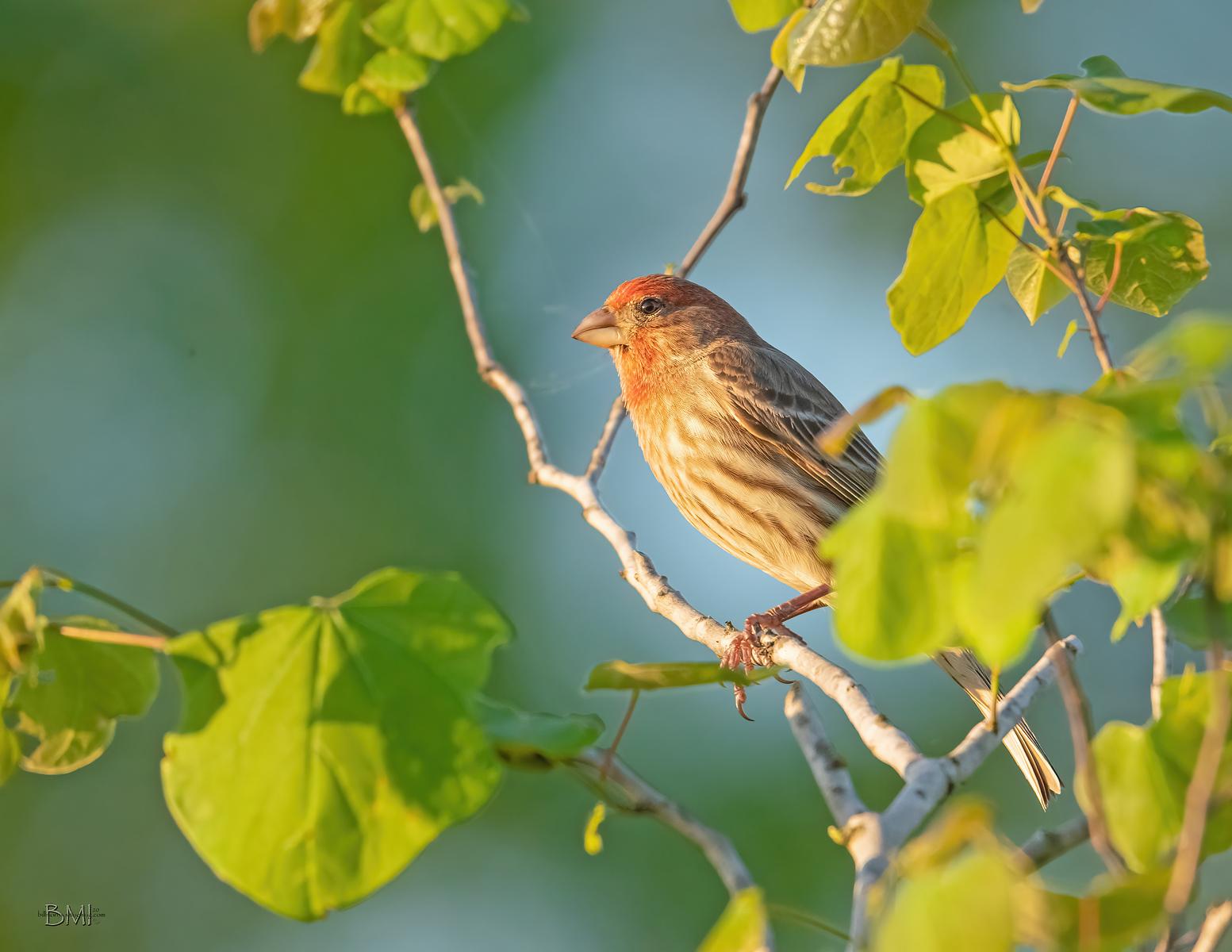 IMAGE: https://photos.smugmug.com/Beautyinthetreesandintheair/Birds/i-bTRh2Sr/0/0dd18641/X3/House%20finch_R3_3-24-2020-25-X3.jpg