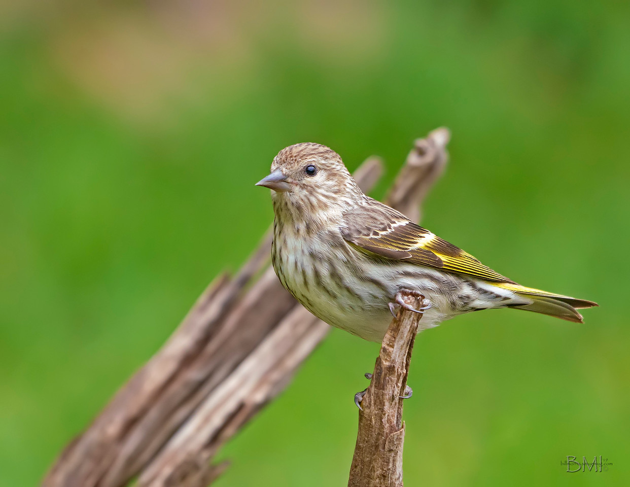IMAGE: https://photos.smugmug.com/Beautyinthetreesandintheair/Birds/i-cDtPngt/0/923de6d1/X2/Pine%20siskin%204-13-19-4-X2.jpg