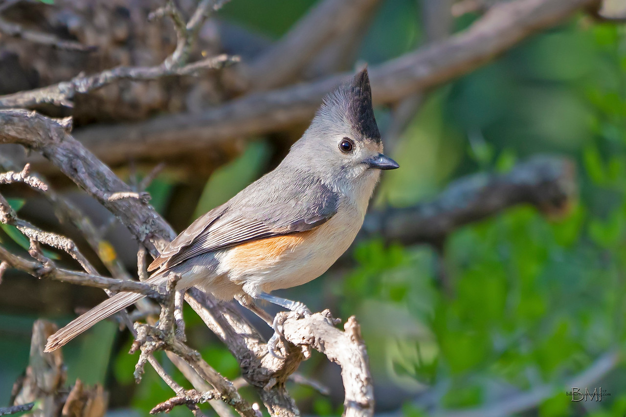 IMAGE: https://photos.smugmug.com/Beautyinthetreesandintheair/Birds/i-ncbfBbp/0/5afcaa5b/X2/Black-crested%20titmouse%204-12-19-6-X2.jpg
