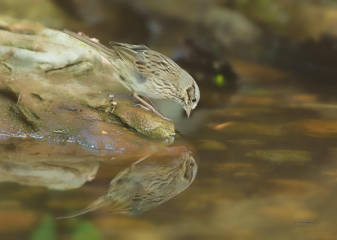 IMAGE: https://photos.smugmug.com/Beautyinthetreesandintheair/Birds/i-ppxV9fR/2/92c972d3/X2/Lincoln%20sparrow%204-22-18-X2.jpg