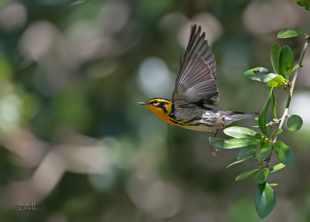 IMAGE: https://photos.smugmug.com/Beautyinthetreesandintheair/Birds/i-q2G6vsj/0/b3091fd6/X2/Blackburnian%205-6-18-17-X2.jpg