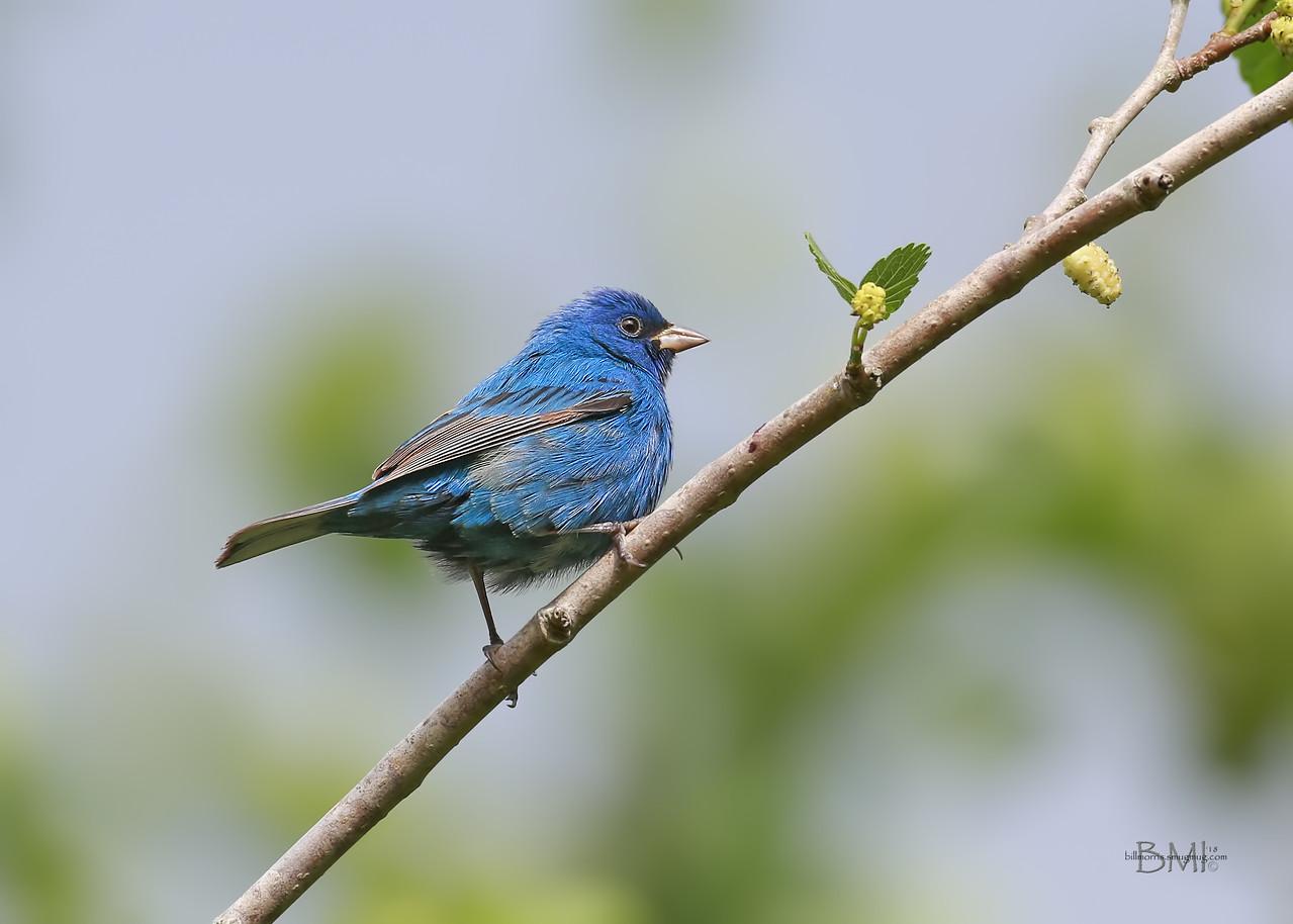 IMAGE: https://photos.smugmug.com/Beautyinthetreesandintheair/Birds/i-vKN24NT/0/413dd30f/X2/Indigo%20bunting%204-14-18-17-X2.jpg