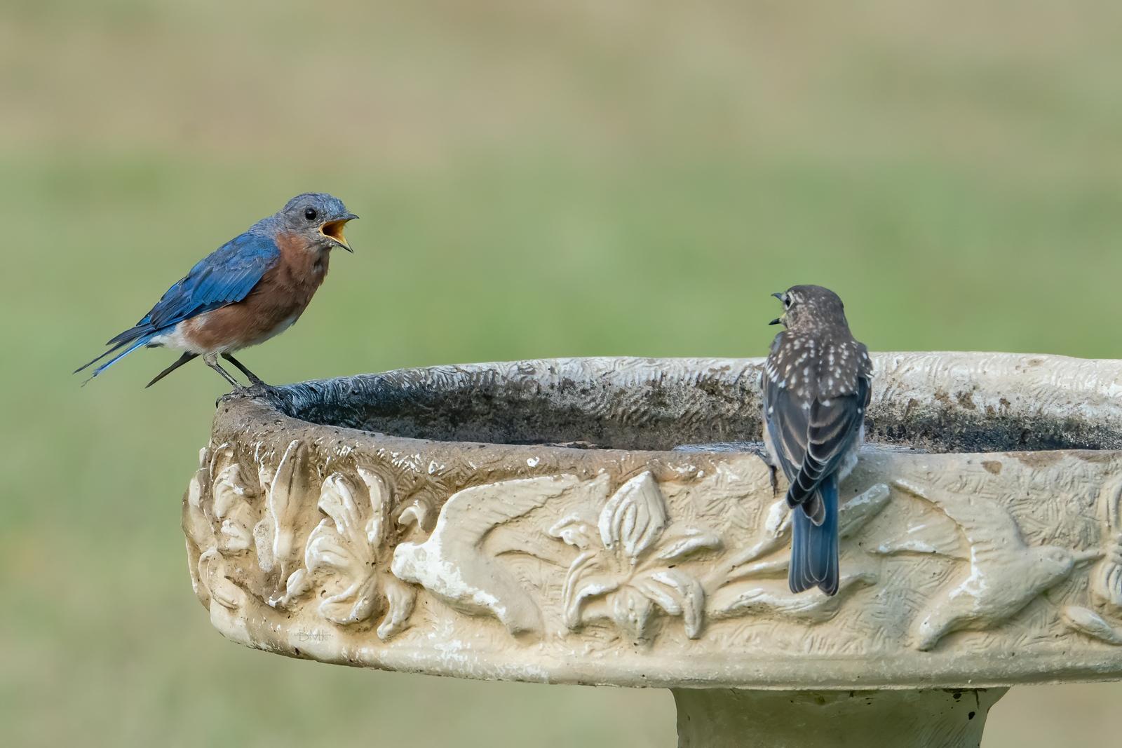 IMAGE: https://photos.smugmug.com/Beautyinthetreesandintheair/Eastern-bluebirds-Spring-2020/i-BXzPvjL/0/400807b4/X3/Eastern%20bluebird_9_9-1-2020-220-X3.jpg