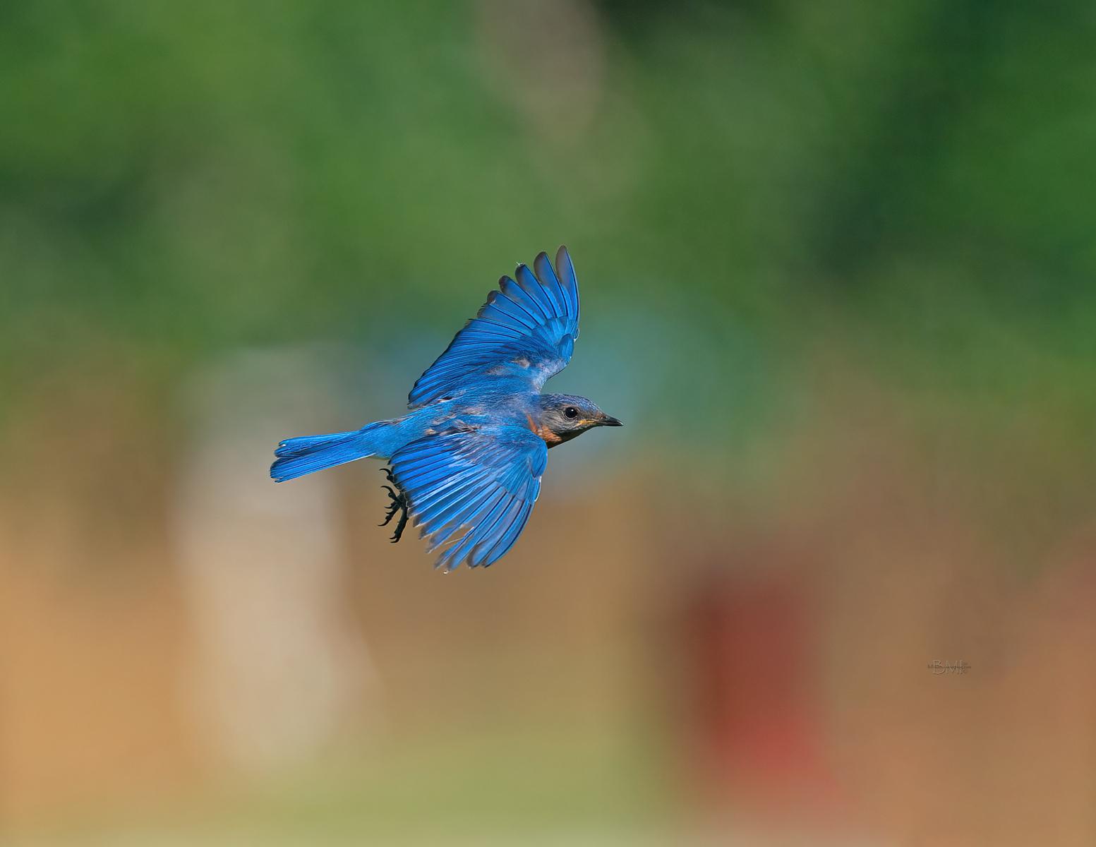 IMAGE: https://photos.smugmug.com/Beautyinthetreesandintheair/Eastern-bluebirds-Spring-2020/i-WkHMts4/0/1b209f3d/X3/Eastern%20bluebird_9_6-6-2020-111-X3.jpg