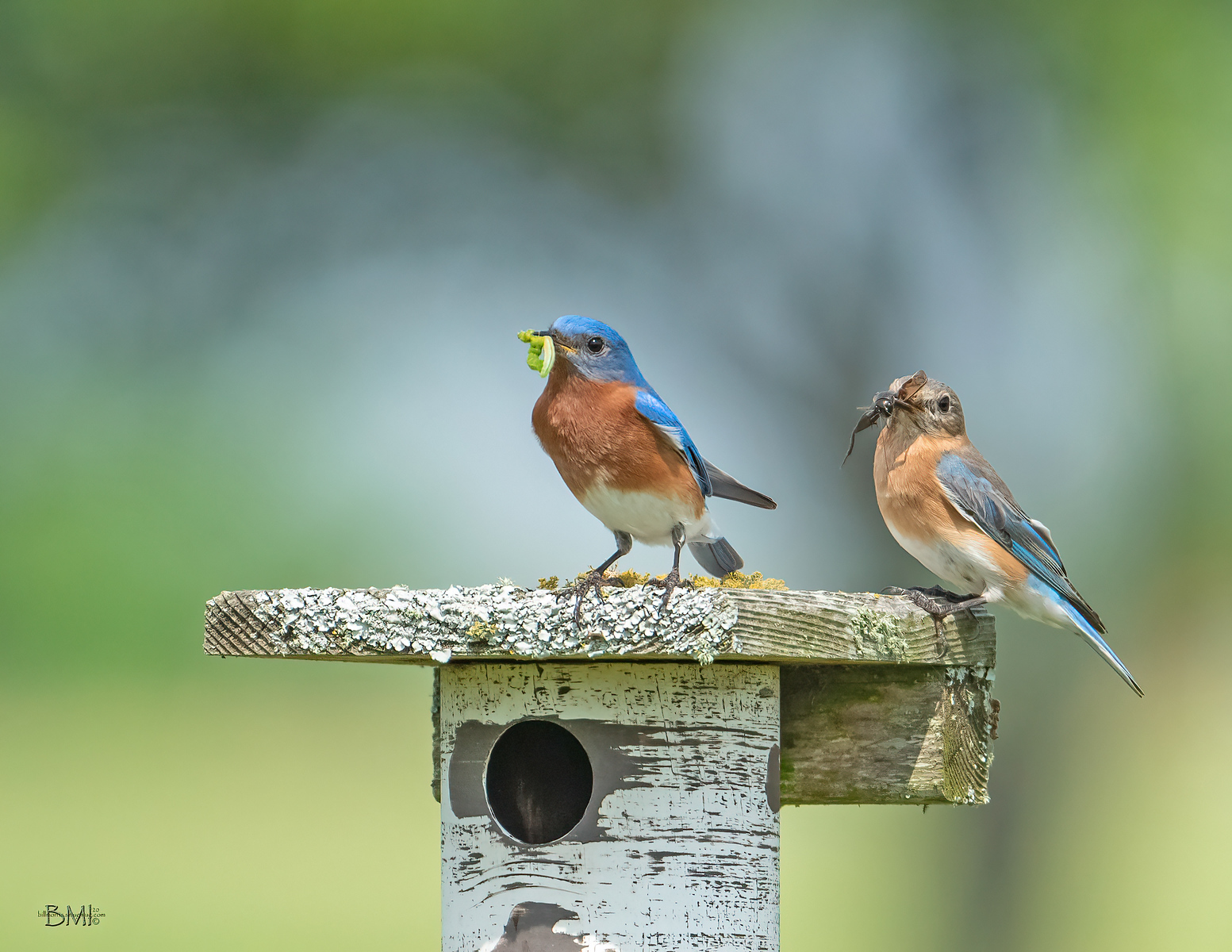 IMAGE: https://photos.smugmug.com/Beautyinthetreesandintheair/Eastern-bluebirds-Spring-2020/i-jxNqxP7/0/78d97edd/X3/Eastern%20bluebird_9_3-27-2020-62-X3.jpg