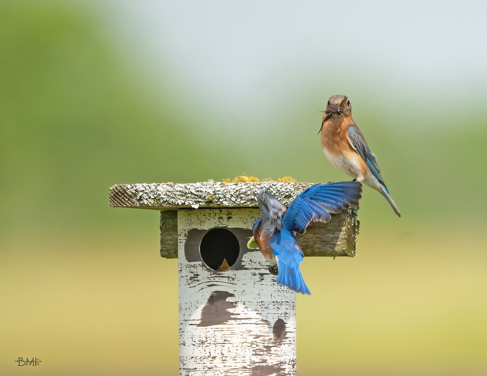 IMAGE: https://photos.smugmug.com/Beautyinthetreesandintheair/Eastern-bluebirds-Spring-2020/i-tCjNKff/0/11a09078/X3/Eastern%20bluebird_9_3-27-2020-70-X3.jpg
