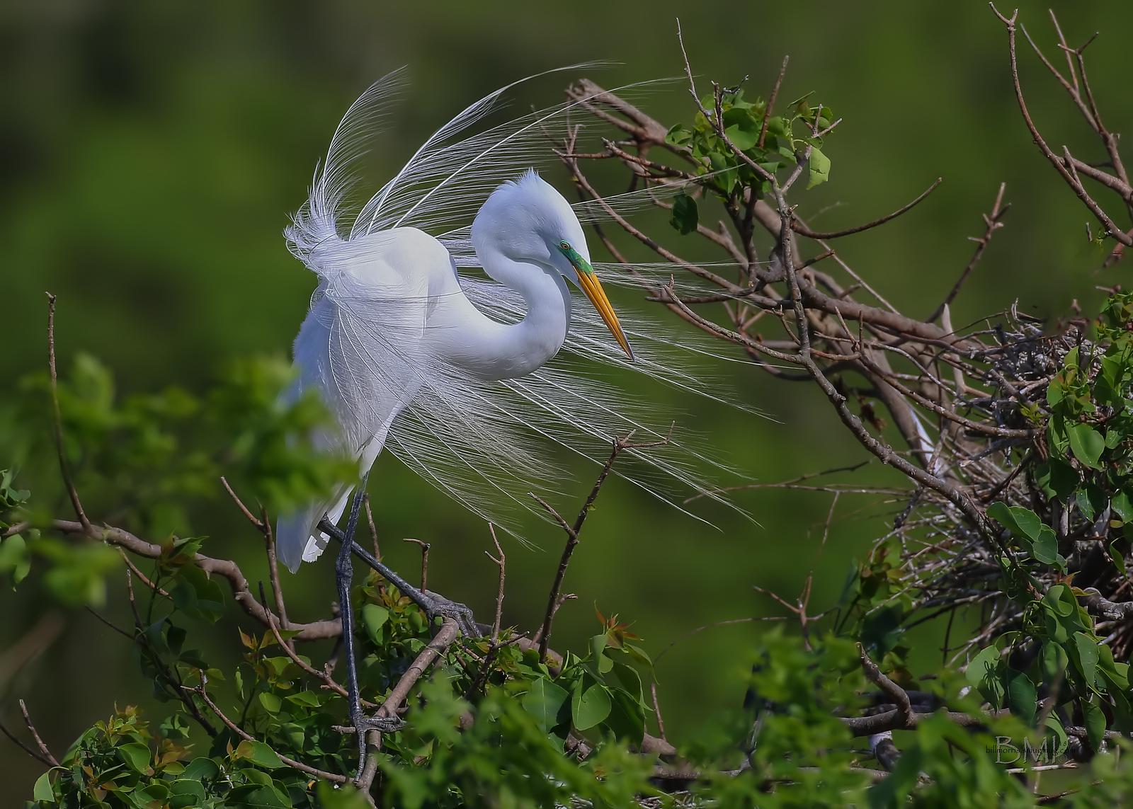 IMAGE: https://photos.smugmug.com/Beautyinthetreesandintheair/Herons-egrets-and-other-large-wading-birds/i-DQmqwXs/2/bdd0af01/X3/Great%20egret%203-30-18-42-X3.jpg