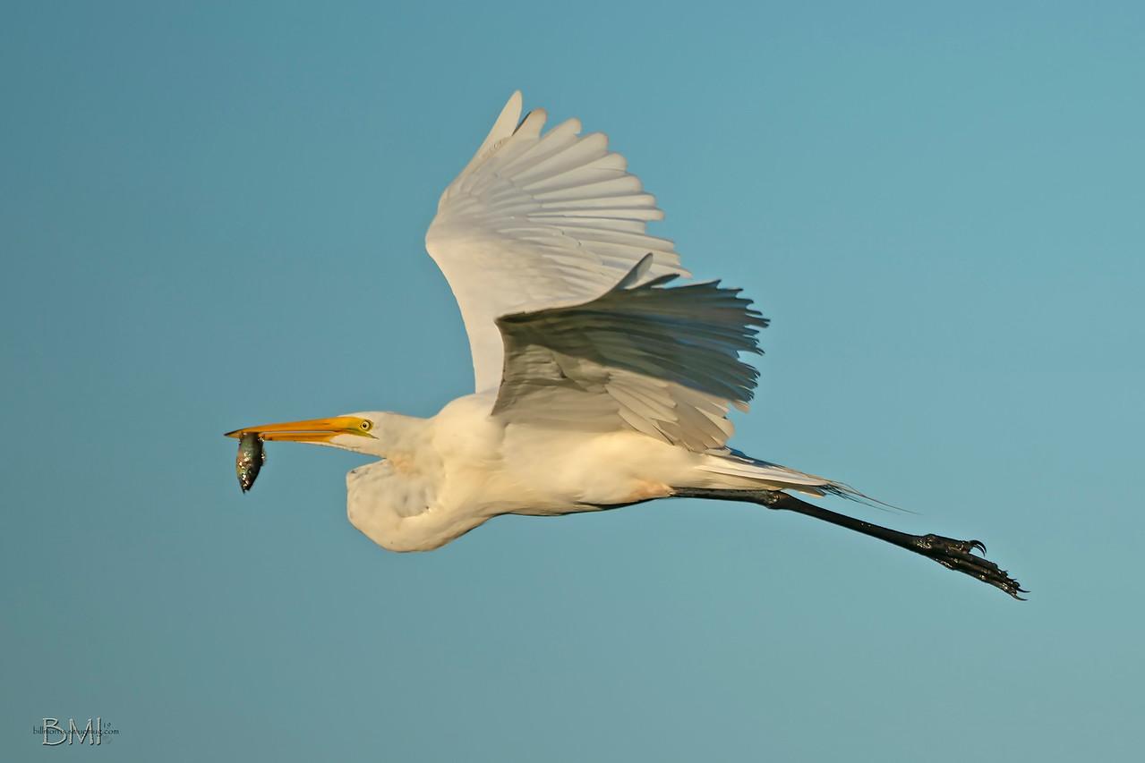 IMAGE: https://photos.smugmug.com/Beautyinthetreesandintheair/Herons-egrets-and-other-large-wading-birds/i-JLsHRds/0/d05229b7/X2/Great%20egret%20a9%206-8-19-10-X2.jpg