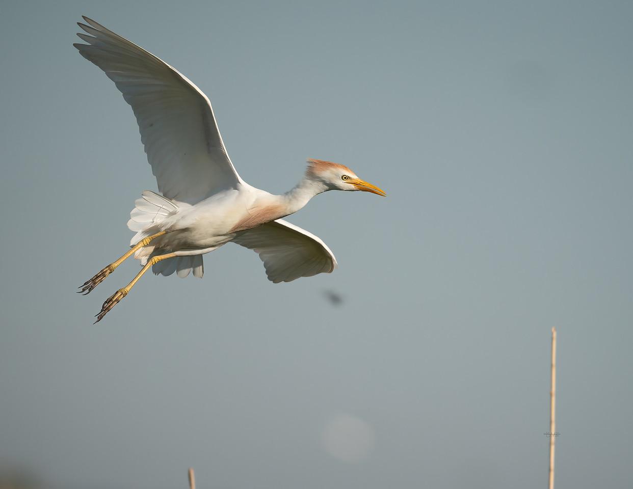 IMAGE: https://photos.smugmug.com/Beautyinthetreesandintheair/Herons-egrets-and-other-large-wading-birds/i-MXdTnPM/0/5cd03421/X2/Cattle%20egret_9_6-12-2020-39-X2.jpg