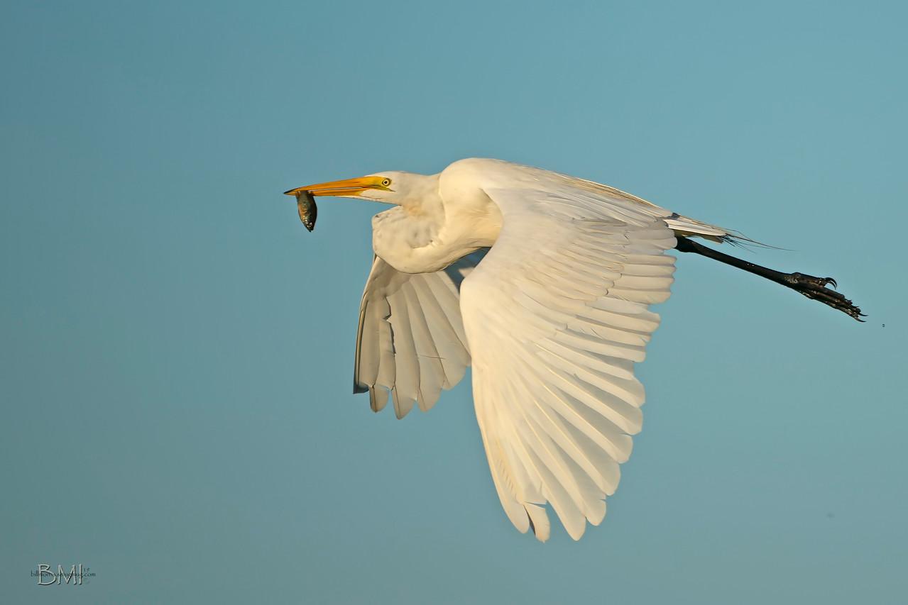 IMAGE: https://photos.smugmug.com/Beautyinthetreesandintheair/Herons-egrets-and-other-large-wading-birds/i-xWn8b7S/0/826e119f/X2/Great%20egret%20a9%206-8-19-9-X2.jpg