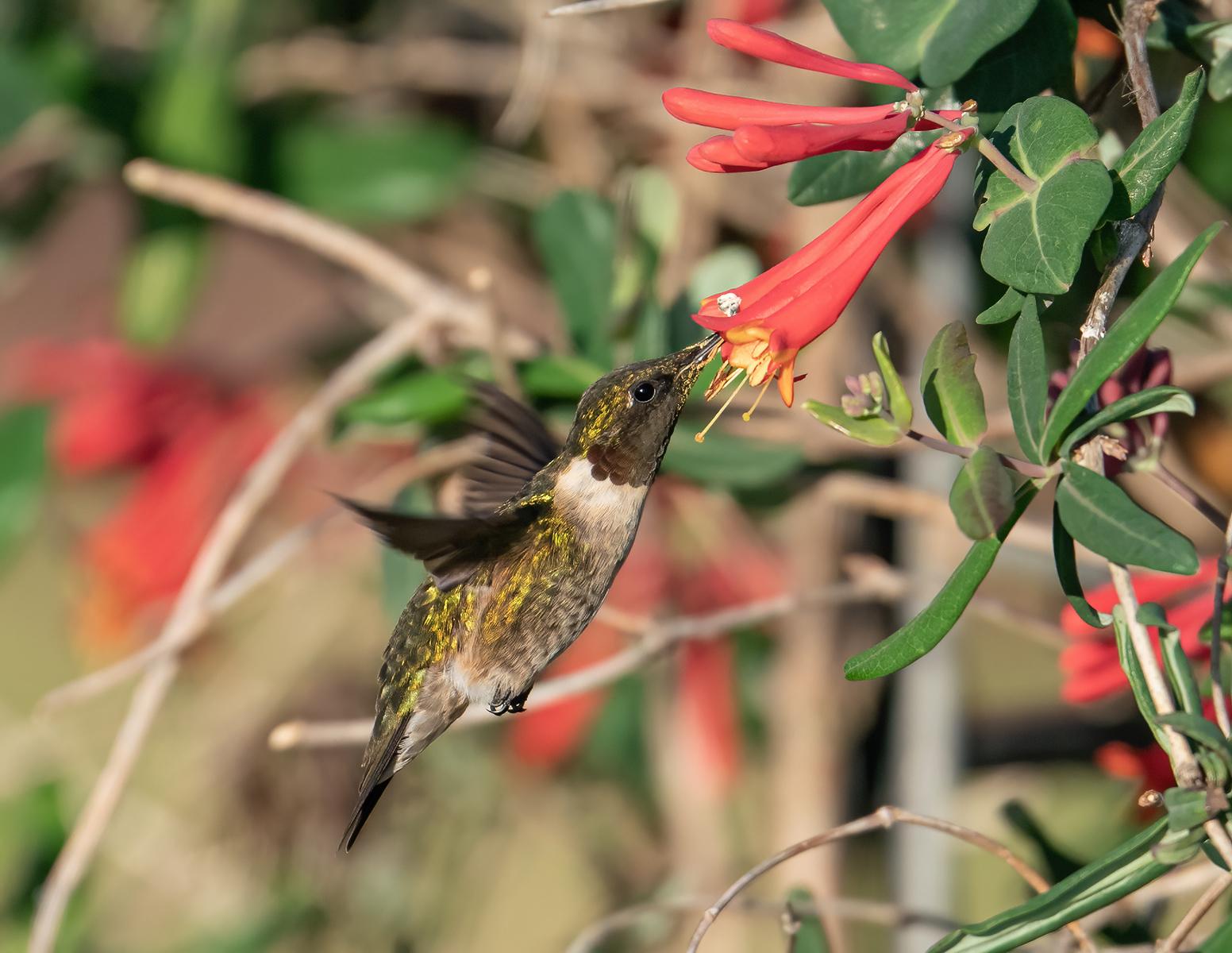 IMAGE: https://photos.smugmug.com/Beautyinthetreesandintheair/Hummingbirds-2021/i-NkWmhWg/0/0ff51acb/X3/RT%20Hummingbird_9_3-29-21-87-X3.jpg