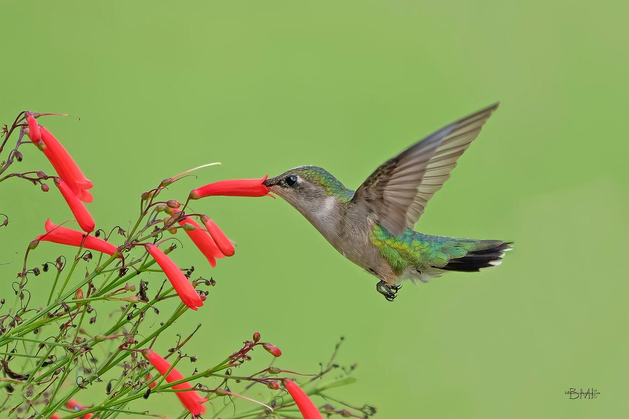 IMAGE: https://photos.smugmug.com/Beautyinthetreesandintheair/Hummingbirds/i-3N3rnPf/0/2dacaf1c/X2/RT%20hummingbirdA%209718-71-X2.jpg