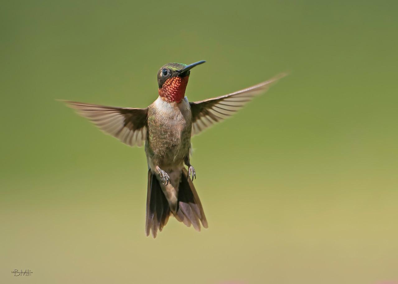 IMAGE: https://photos.smugmug.com/Beautyinthetreesandintheair/Hummingbirds/i-7KmFqW4/0/eca8e3ec/X2/RT%20Hummingbird%208-29-2019-32-X2.jpg
