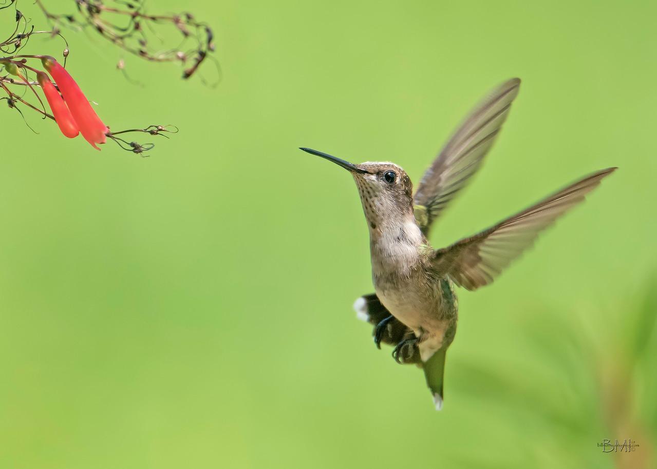 IMAGE: https://photos.smugmug.com/Beautyinthetreesandintheair/Hummingbirds/i-zdcD2b8/0/eb93223a/X2/RT%20Hummingbird%208-15-2019-86%20ed-X2.jpg