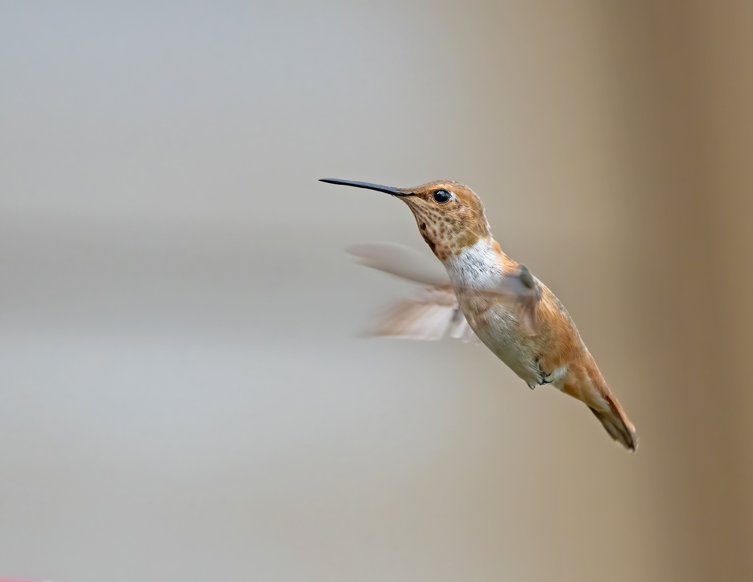 IMAGE: https://photos.smugmug.com/Beautyinthetreesandintheair/Humminngbirds-2020/i-6HqSW5k/0/d5ae3e78/X3/Rufous%20hummingbird_9_11-10-2020-17-X3.jpg