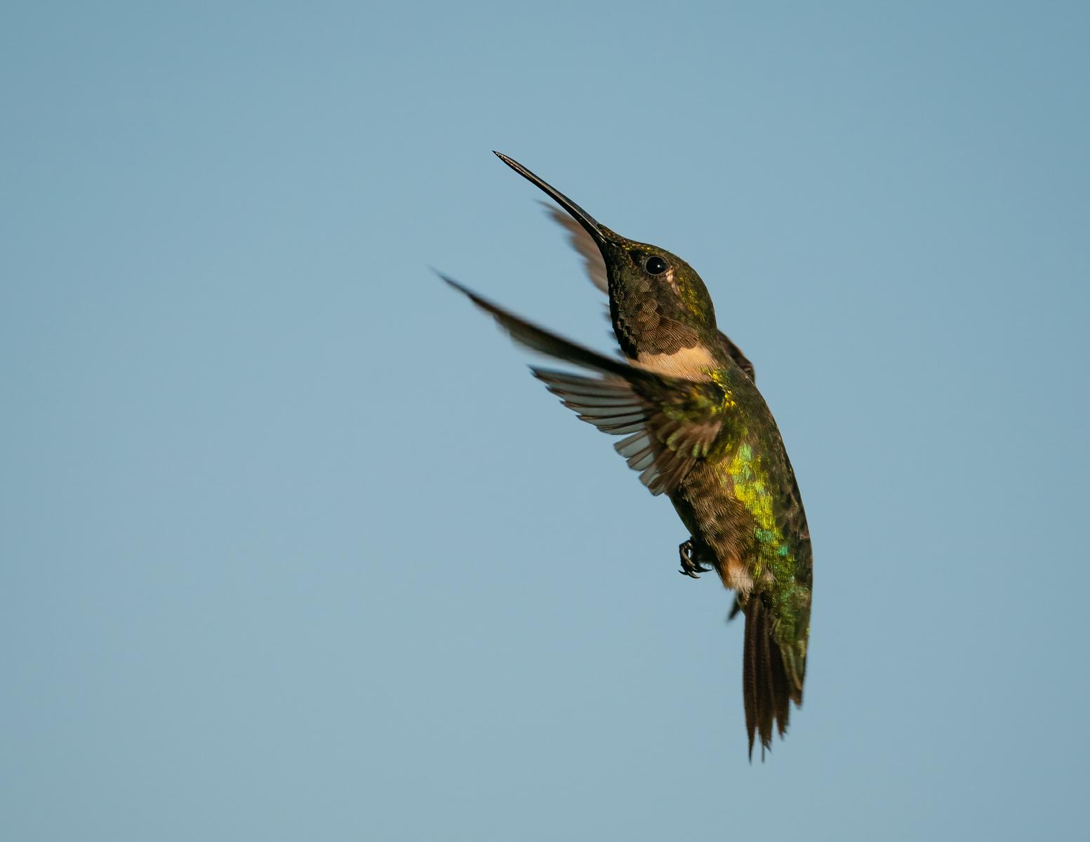 IMAGE: https://photos.smugmug.com/Beautyinthetreesandintheair/Humminngbirds-2020/i-LLSpSjN/0/58f3f046/X3/RT%20hummingbird_9_9-7-2020-106-X3.jpg