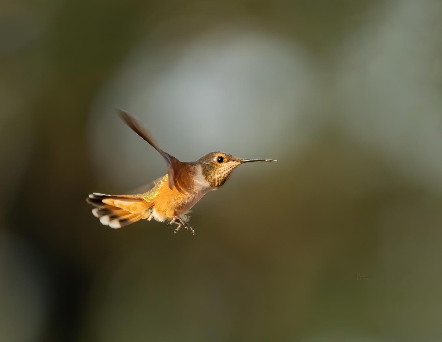 IMAGE: https://photos.smugmug.com/Beautyinthetreesandintheair/Humminngbirds-2020/i-Qwq68t6/0/0fbd32ff/X3/Rufous%20hummingbird_C_8-31-2020-43-X3.jpg