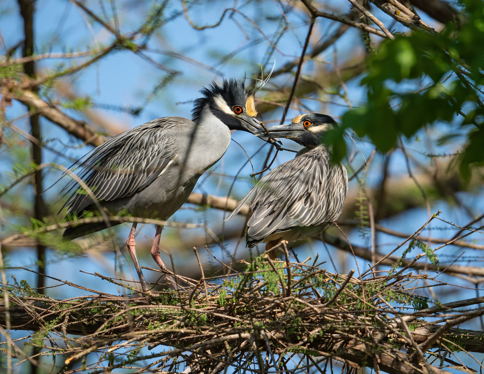 IMAGE: https://photos.smugmug.com/Beautyinthetreesandintheair/Local-Brazos-County-Rookery/i-Zhm4tT5/0/f76d52f4/X3/Y-C%20night%20heron_9_4-1-21-239-X3.jpg