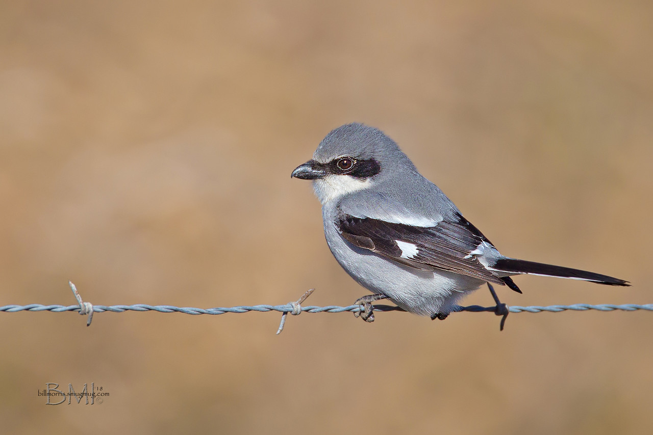IMAGE: https://photos.smugmug.com/Photos-for-sale/Birds/i-7GNFPDX/0/43101a93/X2/Loggerhead%20shrike%201-12-18-2-X2.jpg