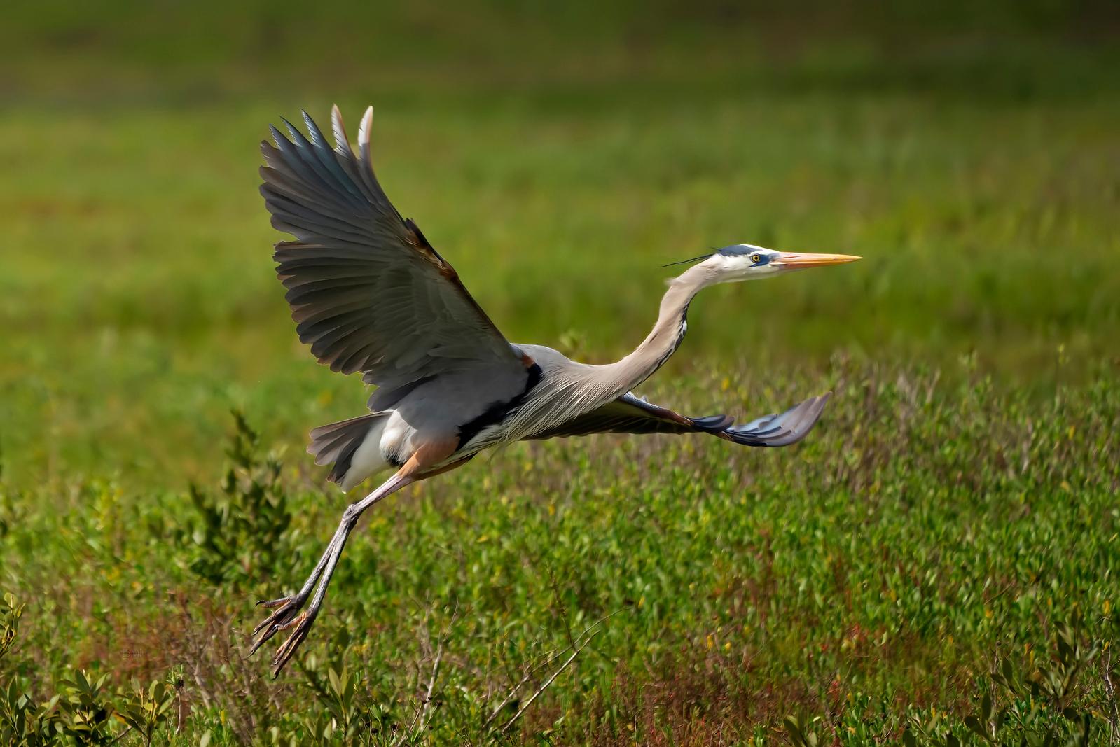IMAGE: https://photos.smugmug.com/Beautyinthetreesandintheair/Photo-Archives-of-Birds/Bird-photo-archives/i-DQJQ8GL/0/1bd4fd17/X3/Great%20blue%20heron%202-18-19-5-X3.jpg