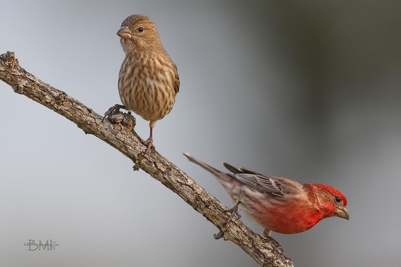 IMAGE: https://photos.smugmug.com/Beautyinthetreesandintheair/Birds/i-RnFrtQH/0/5e05da39/X2/House%20finch%203-9-18-10-X2.jpg