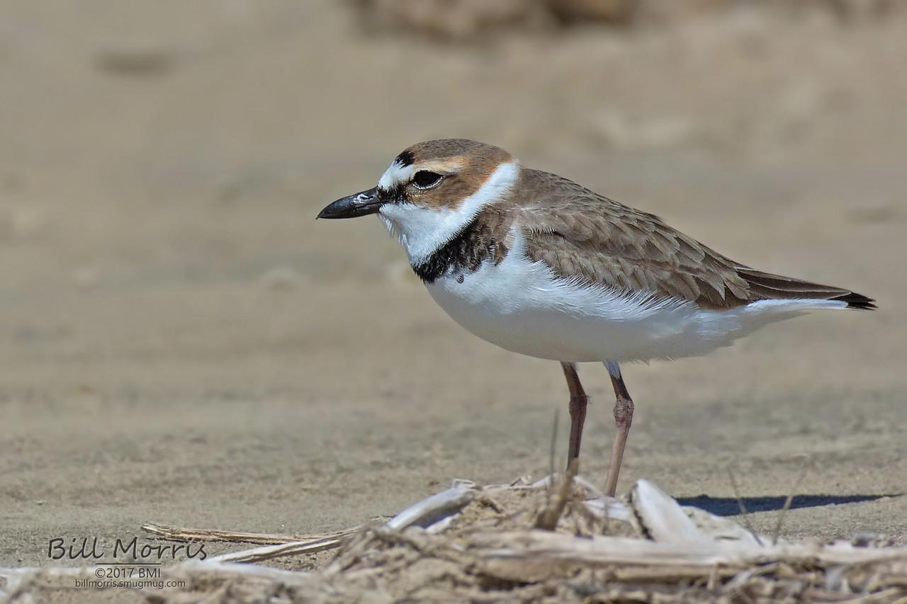 IMAGE: https://photos.smugmug.com/Photos-for-sale/Shore-birds/i-pmHXLzv/0/X2/Wilsons%20plover%203-21-17-12-X2.jpg