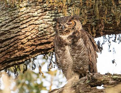 Great-horned owl_9-3-12-21-234