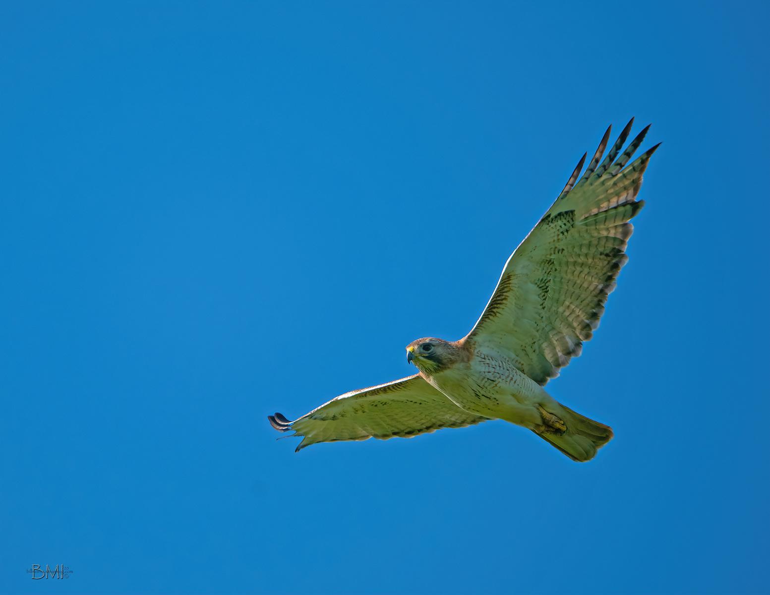 IMAGE: https://photos.smugmug.com/Beautyinthetreesandintheair/Raptors/i-9m99Q6b/0/d4e9f645/X3/Red-tailed%20hawk_9_4-12-2020-241-X3.jpg
