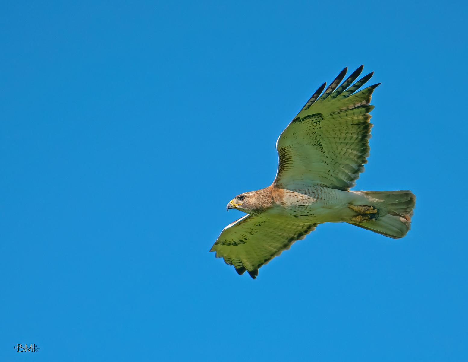 IMAGE: https://photos.smugmug.com/Beautyinthetreesandintheair/Raptors/i-DNhJPSH/0/07f39bc6/X3/Red-tailed%20hawk_9_4-12-2020-230-X3.jpg