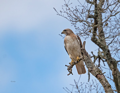 Red-tailed hawk_R3_2-21-21-10