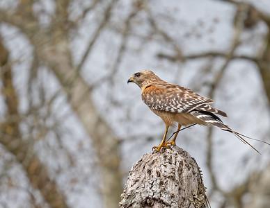 Red-shouldered hawk_9_3-10-21-26