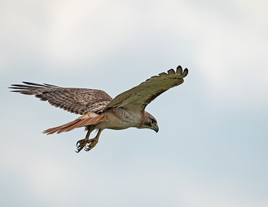 Red-tailed hawk_9_5-31-21-32