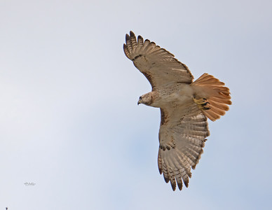 Red-tailed hawk_R3_2-21-21-18