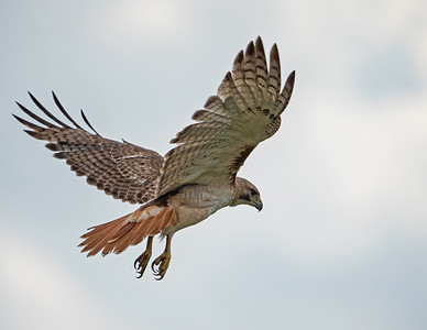 Red-tailed hawk_9_5-31-21-30