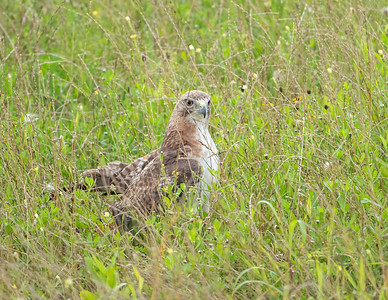 Red-tailed hawk_9_5-31-21-47