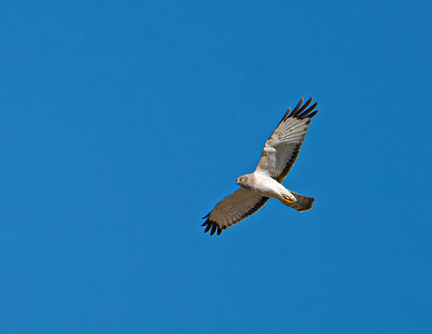 Northern harrier_R3_2-22-21-21 RS