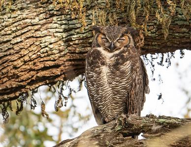 Great-horned owl_9-3-12-21-220