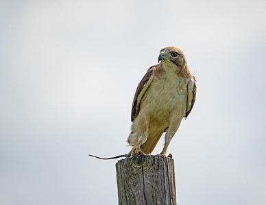 Red-tailed hawk_9_5-31-21-72