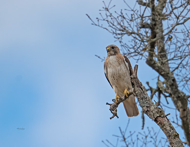 Red-tailed hawk_R3_2-21-21-7