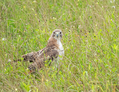 Red-tailed hawk_9_5-31-21-43