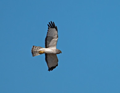 Northern harrier_R3_2-22-21 RS